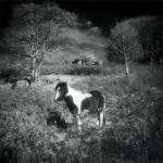 Dartmoor_Ponys_2.jpg