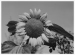 sunflower_I.jpg
