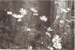 Oxeye_Daisies_Hardwick_Cemetery.jpg